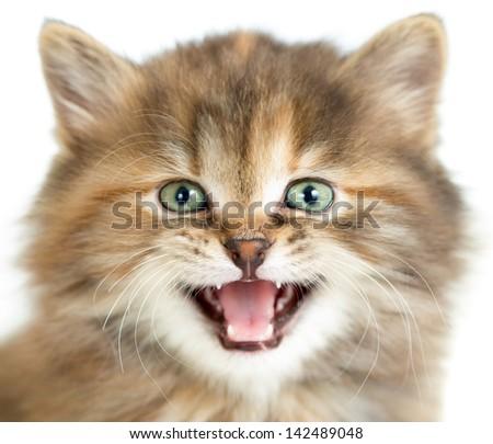 meowing cat or kitten closeup portrait - stock photo