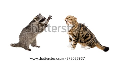 Meowing cat Scottish Fold and raccoon isolated on white background