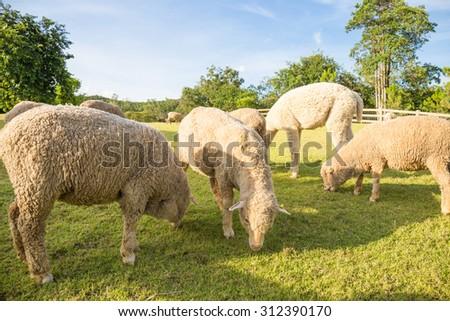 Merino lambs grazing on green pasture - stock photo