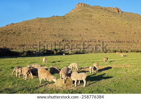 Merino sheep grazing on lush green pasture in late afternoon light, Karoo region, South Africa  - stock photo