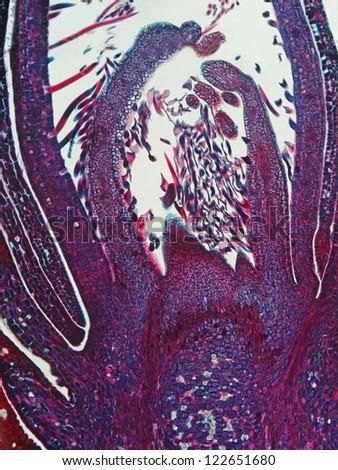 Meristem growing tip of Prunus sp.  Magnification 100X - stock photo