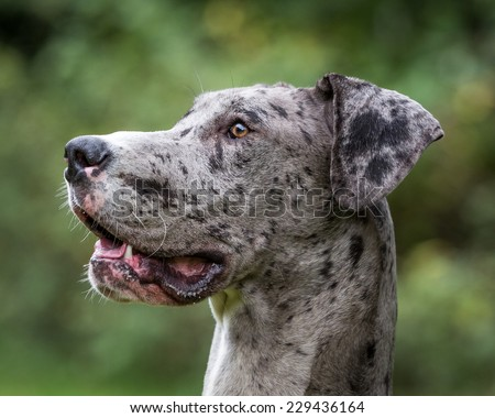 Merlequin Great Dane - stock photo