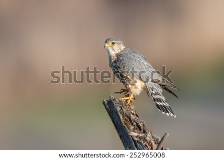 Merlin - stock photo