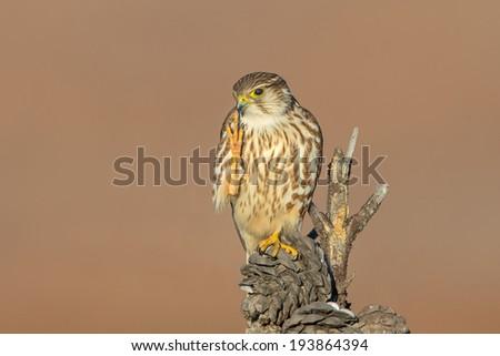 Merlin aka Ladyhawk - stock photo