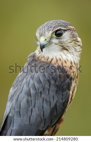 Merlin, looking over the shoulder - stock photo