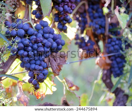 merlot grapes on the vine - stock photo