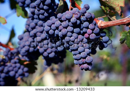 Merlot Grapes on Vine in Vineyard - stock photo