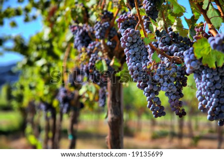 Merlot Grapes on Vine in Vineyard HDR - stock photo