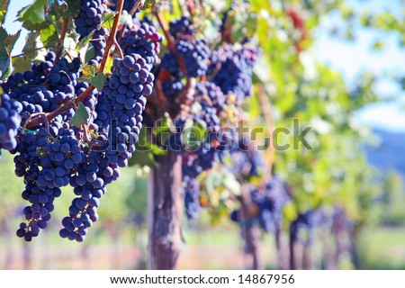 Merlot Grapes on Vine in Vineyard with Copy Space - stock photo