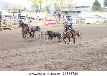 MERRITT, B.C. CANADA - MAY 15: Unidentified cowboys in the process of roping a calf during a Cowboy Roping event at Nicola Valley Rodeo on May 15, 2011 in Merritt, British Columbia, Canada