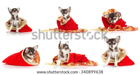 Merry Christmas and Happy New Year.  Set of chihuahua puppies - stock photo