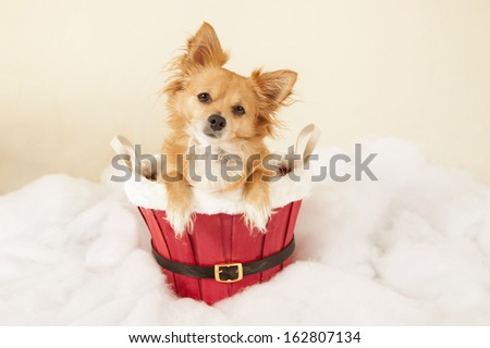 Merry Christmas from Chihuahua - stock photo