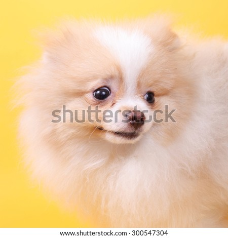 merry cute little spitz puppy with the giftbox - stock photo
