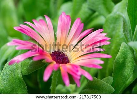 Mesembryanthemum - stock photo