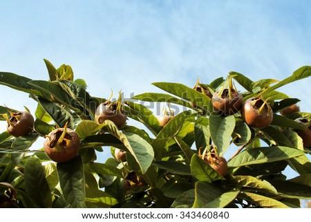 Mespilus germanica  - stock photo