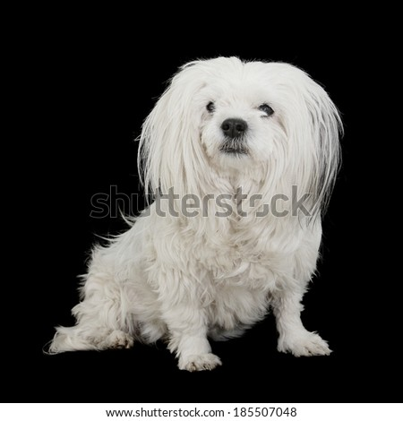 Messy but Adorable Mixed Breed Dog with long scruffy white hair isolated on black - stock photo