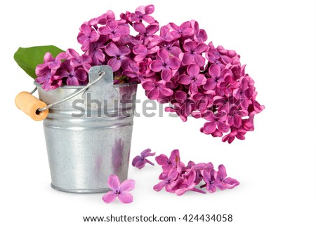 metal bucket with a bouquet of purple lilac spring flowers on white background