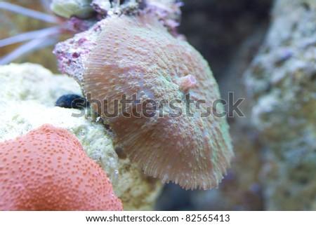 Metallic Green Rhodactis Mushroom. - stock photo