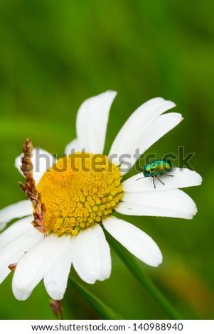 metallic leaf beetle - stock photo