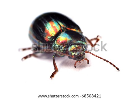metallic leaf beetle Chrysolina americana on a white background - stock photo