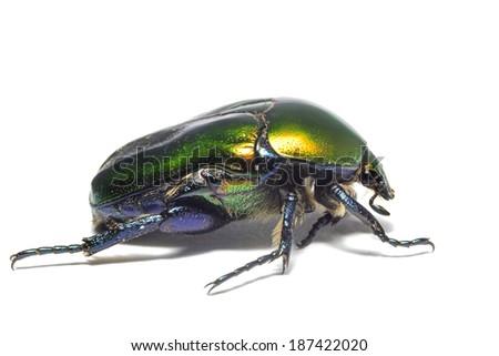 metallic leaf beetle on a white background isolated - stock photo