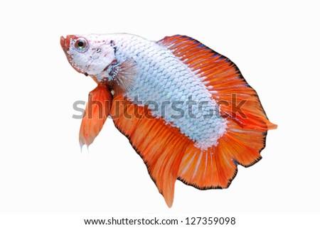 Metallic orange fins Betta isolated on white - stock photo