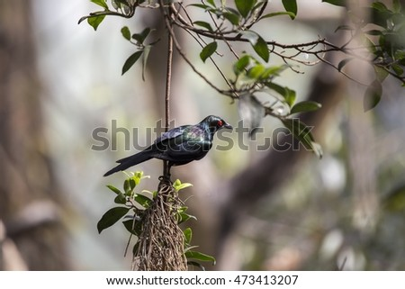 Metallic Starling (Aplonis metallica) spotted outdoors in the wild