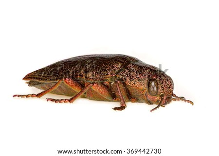 metallic wood borer (Dicerca fritillum) isolated on white background - stock photo