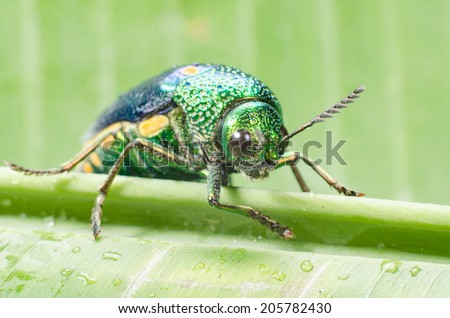 Metallic wood-boring beetle.