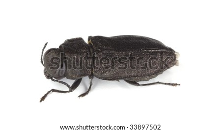 Metallic wood-boring beetle (Anthaxia quadripunctata) isolated on white. - stock photo