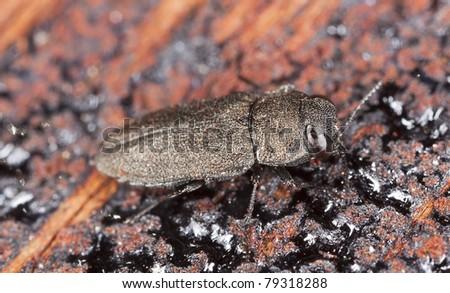 Metallic wood boring beetle on wood - stock photo