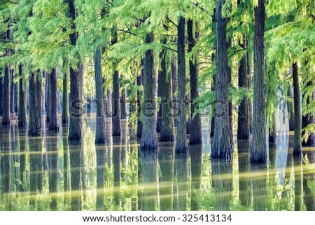 metasequoia woods in lake , most ancient tree species with beautiful natural scenery - stock photo