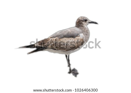 Mexican bird isolated on the white background