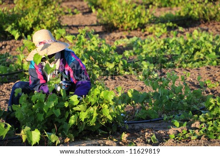 Mexican farm worker trims grape plants in California