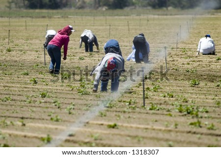 Mexican farm workers weeding in the field by hand, San Joaquin Valley, California - stock photo