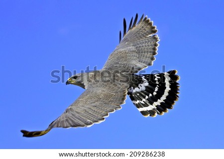 Mexican Grey Hawk Soaring - stock photo