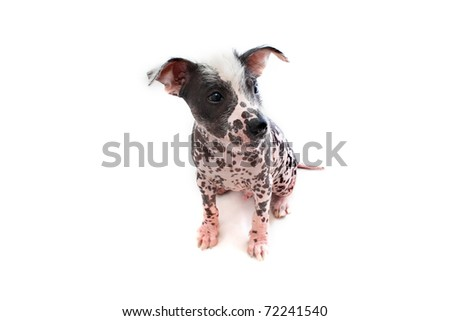 Mexican Hairless dog looking right - stock photo