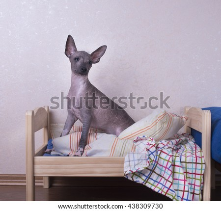 Mexican hairless dog puppy on a blue background isolated - stock photo