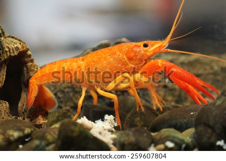 Mexican orange freshwater crayfish in the aquarium, selective focus and space for text - stock photo