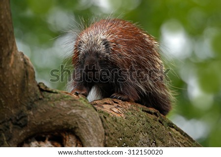 Mexican Prehensile-tailed Porcupine, Coendu mexicanus, on the tree trunk in the nature - stock photo