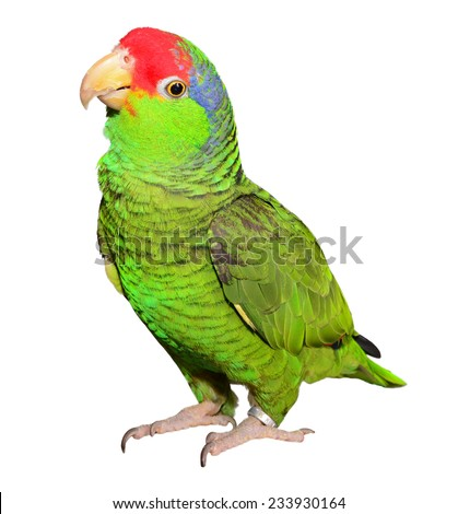 Mexican Red-Headed Amazon - stock photo