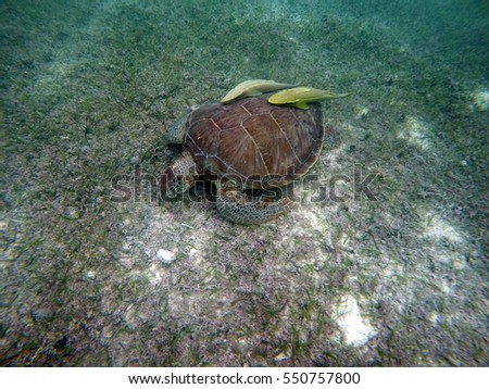 Mexican Sea Turtle underwater swimming in Acumal bay 13