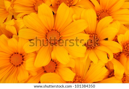 "Mexican sunflower , Name in thailand ""Bua Tong flower"" - stock photo"