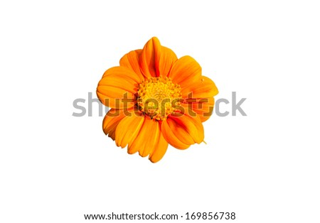 Mexican Sunflower Weed on white background.