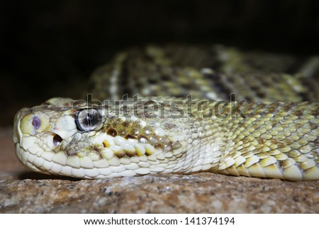 Mexican West Coast Rattlesnake or Mexican Green Rattler (Crotalus basiliscus) in western Mexico. The name is derived from Greek word for king, basiliskos, & alludes to the large size & potent venom. - stock photo