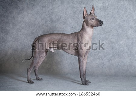 Mexican xoloitzcuintle male dog against grey background. Eighteen months old