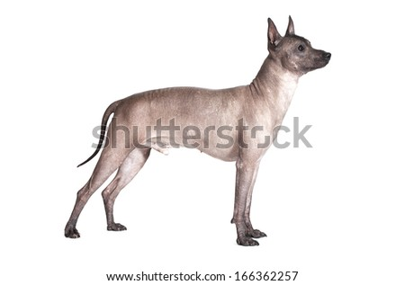 Mexican xoloitzcuintle male dog standing against white background