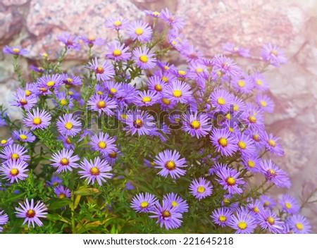 Michaelmas daisies (botanical name: Aster novi-belgii or Symphyotrichum novi-belgii), also known as New York asters, in garden flowerbed in autumn - stock photo