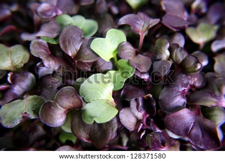 micro greens, purple and green