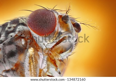 Microscopic extreme sharp and detailed image of head and eye of a fruit fly (Drosophila melanogaster) - stock photo